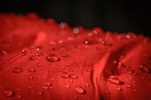 Water drops on red tulip petal
