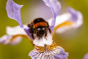 Bumble Bee on an Iris