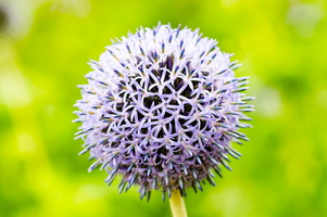 Allium - Close Up