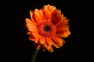 Day 25 - Simple (photo for a Gerbera Flower)