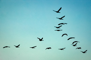 Skein - A flock of Geese in Flight