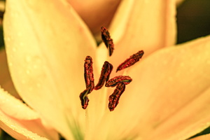 Yellow Lily Stamen