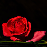 Red Rose with Petal