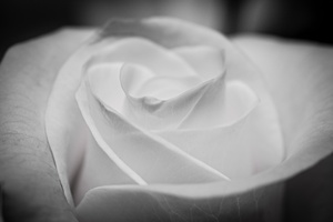 White Rose (Mono saturated)