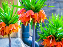 Crown Imperial Lily (Fritillaria)