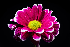 Pink purple white chrysanthemum